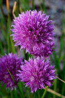 ID-1002964, chives flowers