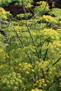 ID-1005281, fennel flowers