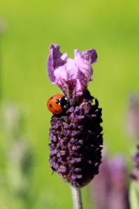 ID-10092100, lavender flower