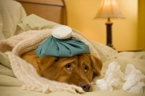 sick-as-a-dog